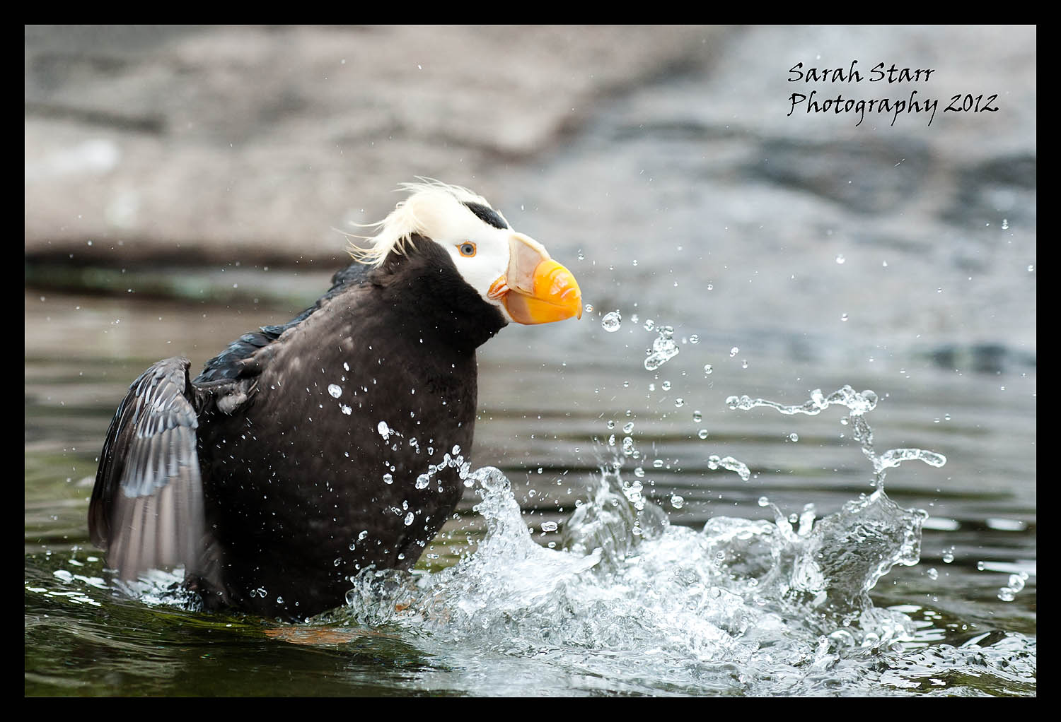 Puffin bathing
